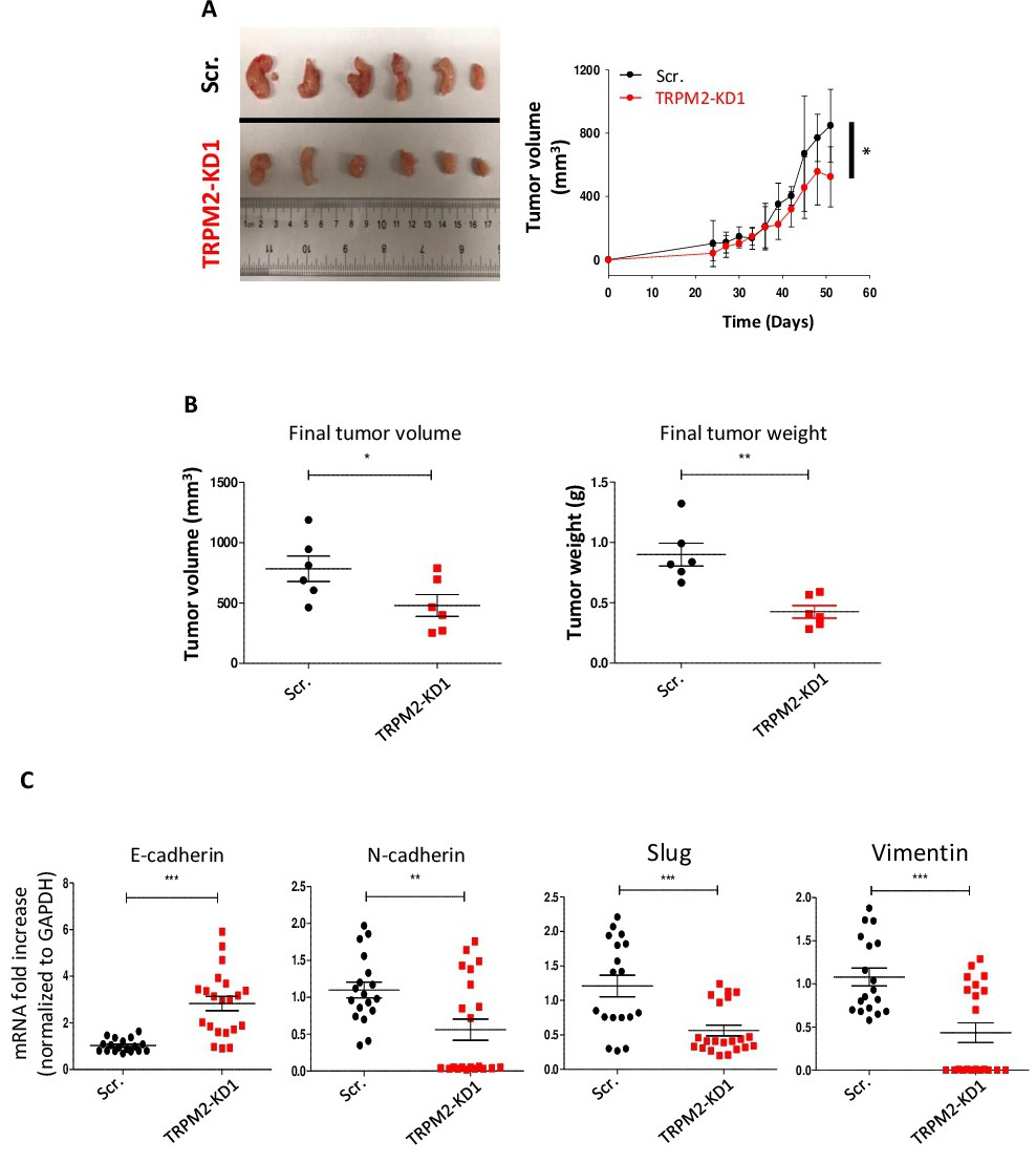 TRPM2 Silencing Causes G2/M Arrest and Apoptosis in Lung